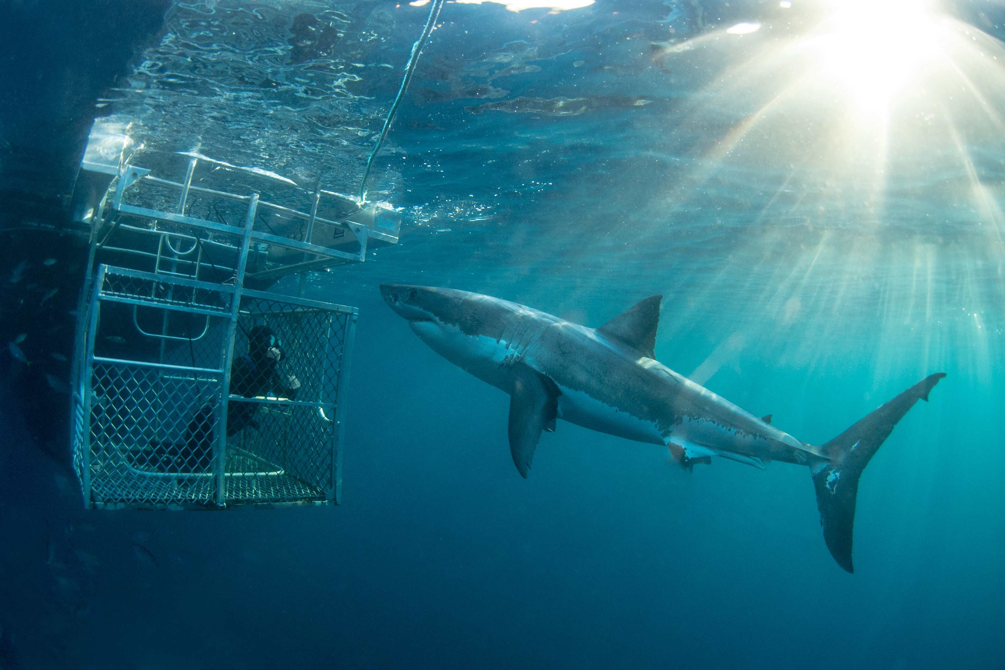 Great White Shark Expedition (3 Nights)